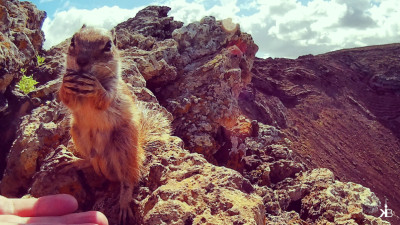cute little rodents are everywhere along the southern coast of El Cotillo | kleppiberlin.de